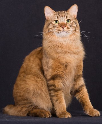 American Bobtail Cat Adoption